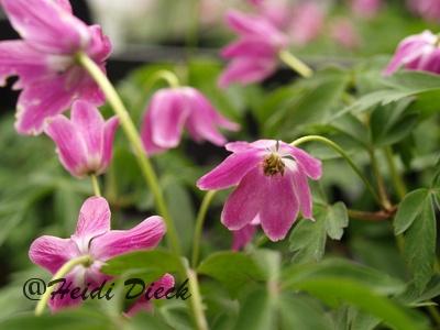 Warten auf den Frühling - Anemone nemorosa Isabell